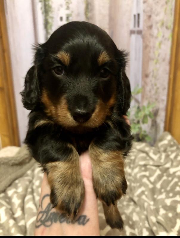 Miniature Dachshund Pup KC Registered  Animals 4