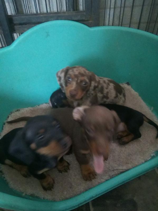 Miniature dachshund Animals