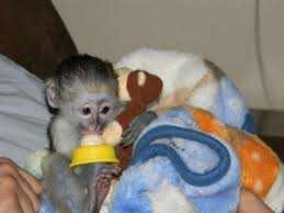 Most beautiful baby marmoset/ Capuchin monkeys for your valitine(lover) (430) 808-2841 Animals