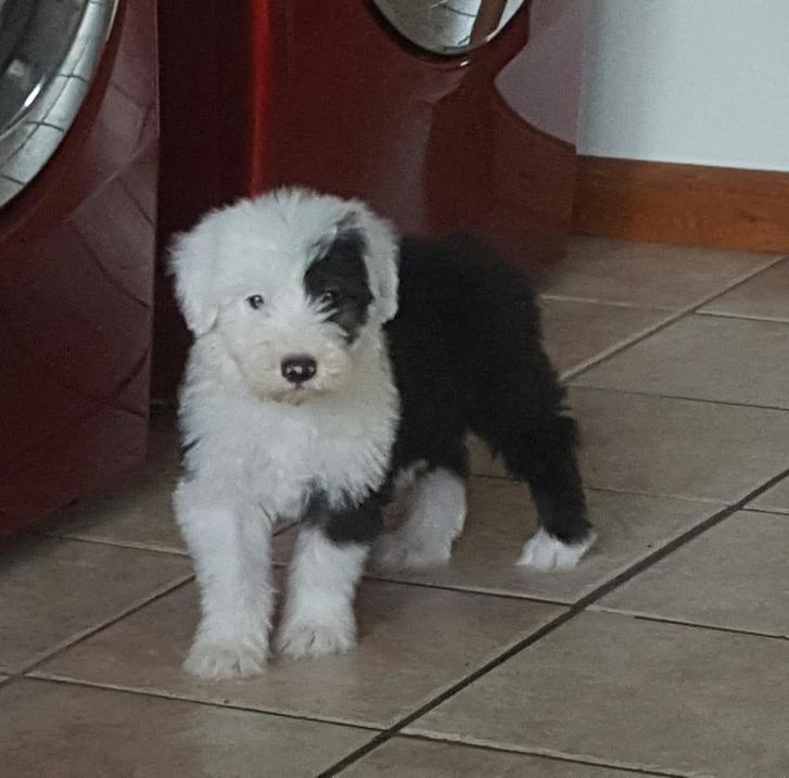 Old English Sheepdog puppies ready  Animals