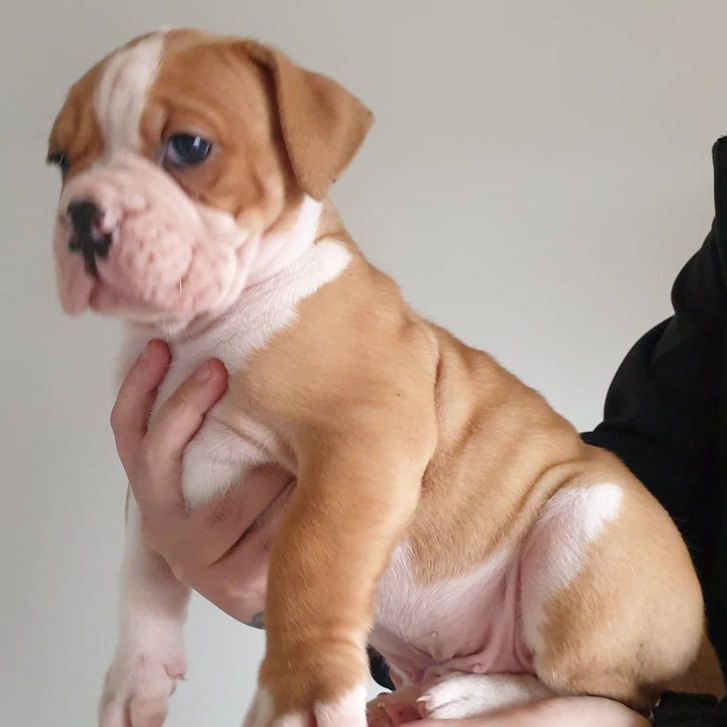 Old tyme bulldog puppies for sale Animals