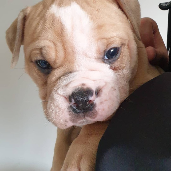 Old tyme bulldog puppies for sale Animals 3