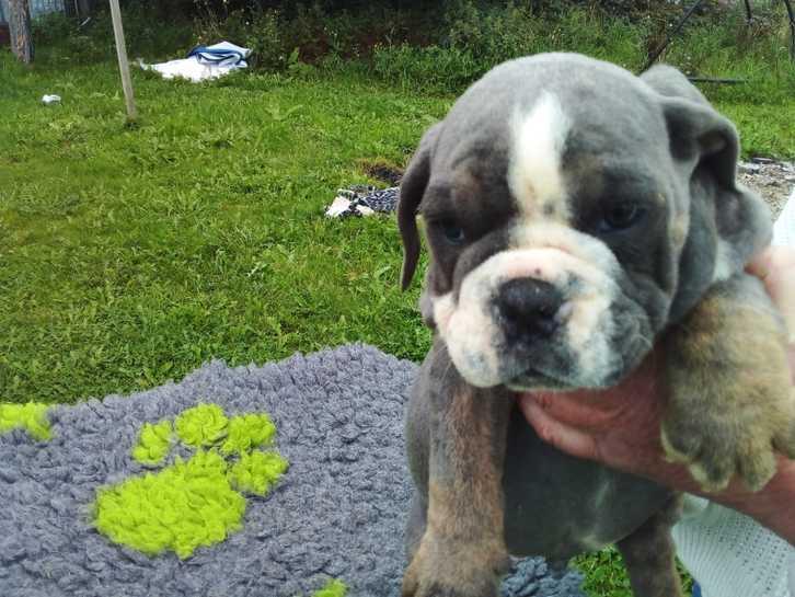 Old tyme bulldog stunning colours pups  Animals 2