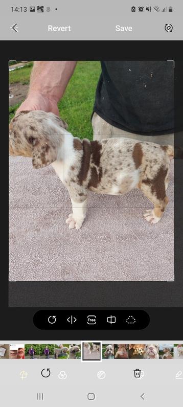 Old tyme bulldog stunning colours pups  Animals 3