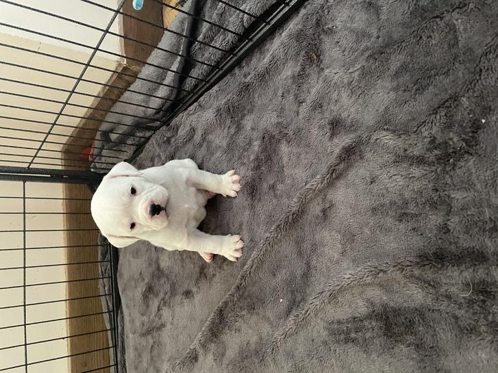 Olde Tyme/English Bulldog puppies  Animals