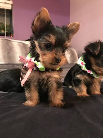 Our 14 weeks old yorkie puppies are now in need of a new home. Animals