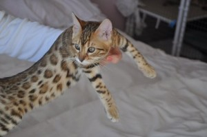 Outstanding Bengal Kitten Sale Animals