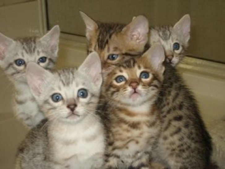 Outstanding Bengal Kitten Sale Animals 4