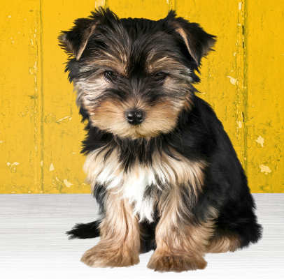 Outstanding Pretty Yorkshire Terrier Pups Animals