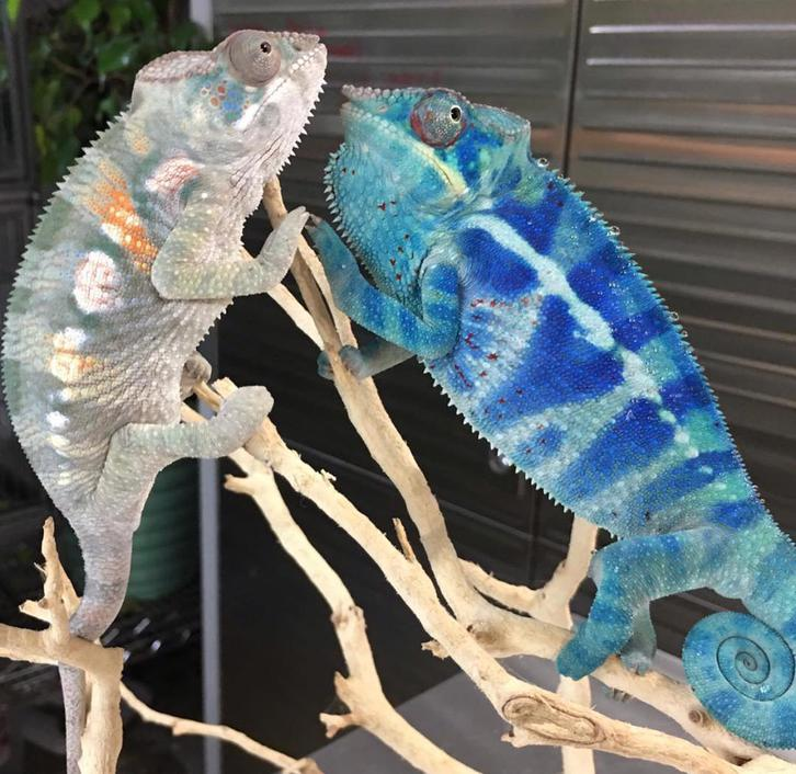 Panther Chameleon for sale Animals