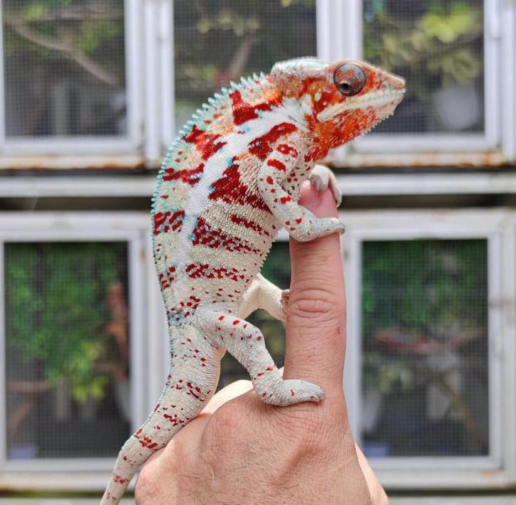 Panther Chameleon for sale Animals 2