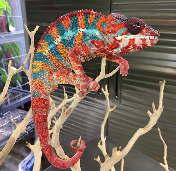 Panther Chameleon for sale Animals 3
