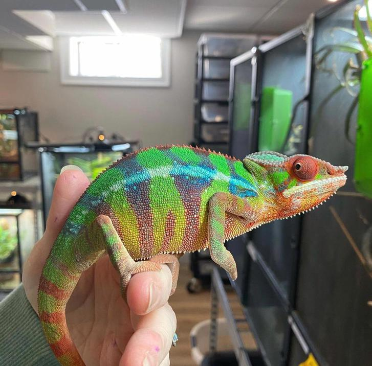 Panther Chameleon for sale Animals 4
