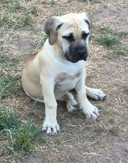 Pedigree Boerboel Puppy Animals