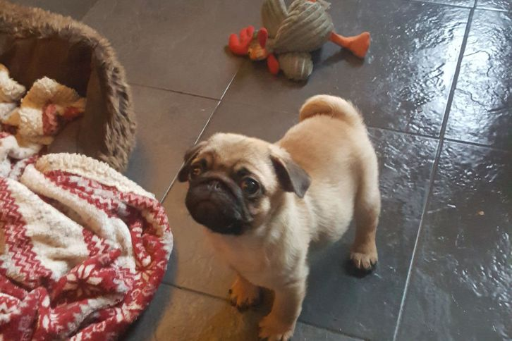 Pedigree Pug Puppy Antiquitaeten 2