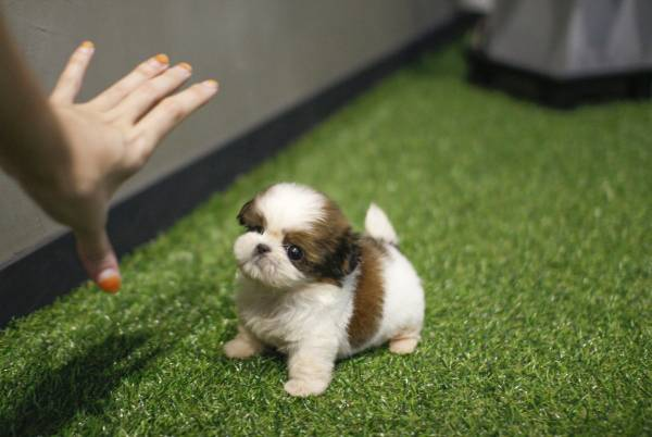 Playful Shih Tzu Puppies Animals
