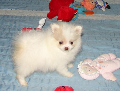 Pomeranian puppies for New homes   Animals