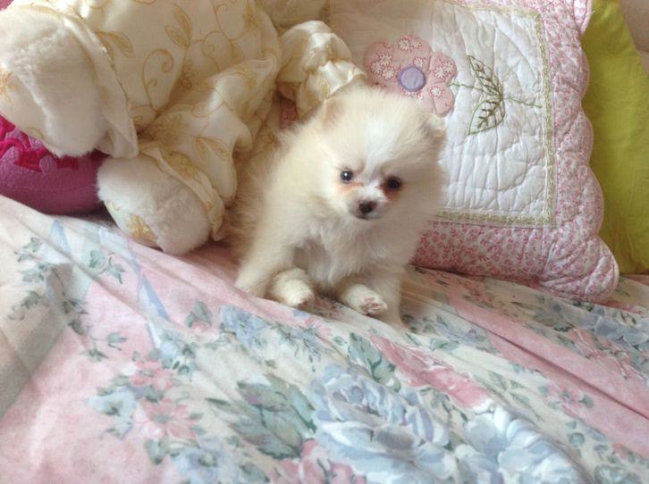 Pomeranian puppies for sale Animals