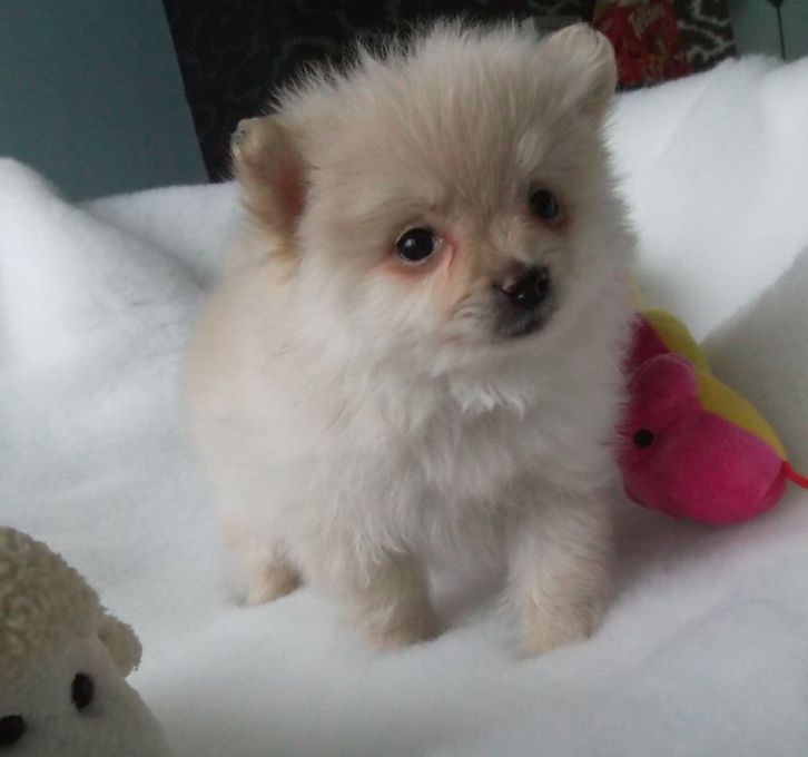 Pomeranian puppies for sale Animals 2