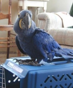 Proven Bonded Pairs Of Hyacinth Macaws For Sale Animals