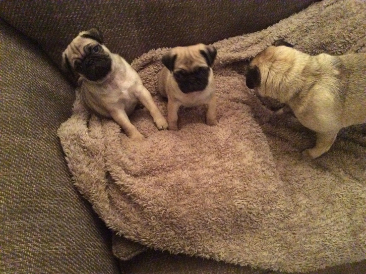 Pug puppies for any pet lover Animals 2