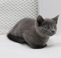 Pure Breed Russian Blue Kittens Male and Female. Animals