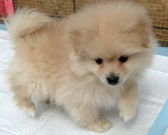 Purebred Pomeranian male and femnale puppies White & Tan fluffy, ready now Animals