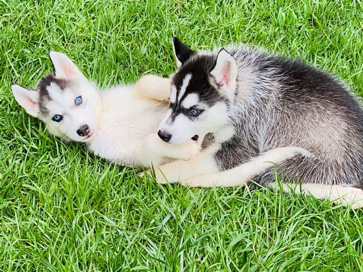 Purebred Siberian Husky Puppies ready Animals