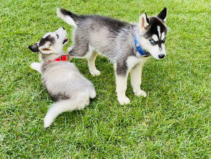 Purebred Siberian Husky Puppies ready Animals 2