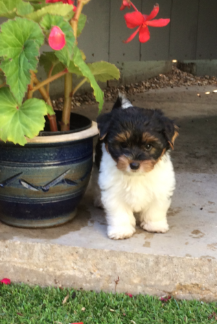 Quality Biewer Terrier Puppies Animals