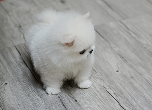 Quality Teacup White Pomeranian puppies for sale Animals