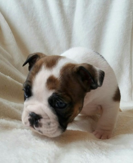 Rare English Bull Dog waiting For New Homes Animals 4