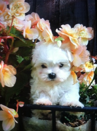 Registered Maltese Puppies Animals