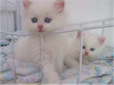 Registered, Pedigree, Red Female Persian kittens. Animals 2
