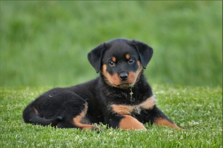 Rottweiler puppies for sale Telephone & Navigation