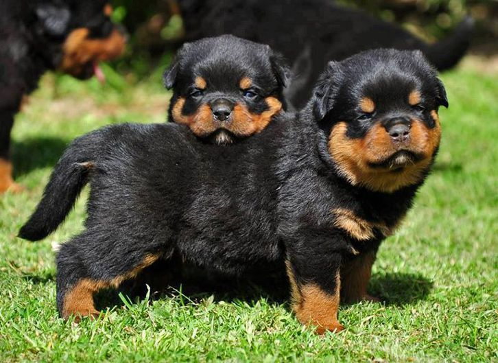 Rottweiler puppies for sale Telephone & Navigation 2