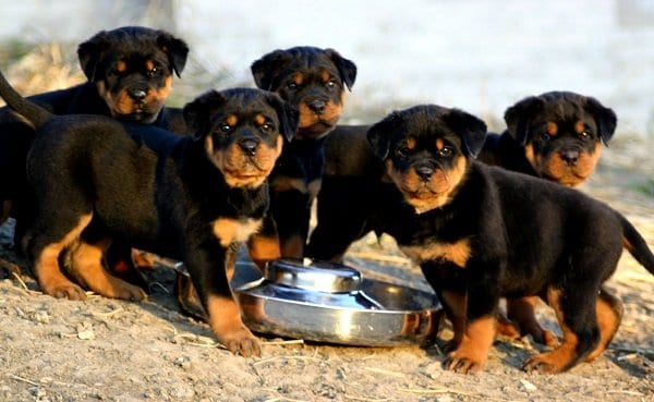 Rottweiler puppies for sale Telephone & Navigation 3