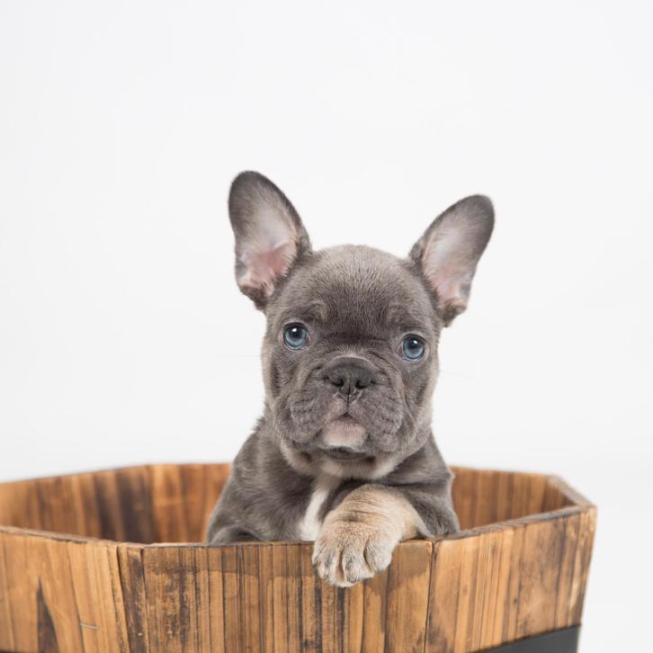 STUNNING FRENCHBULL DOGS FOR SALE  Animals 4