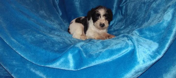 Schnauzer puppies looking for a home Animals