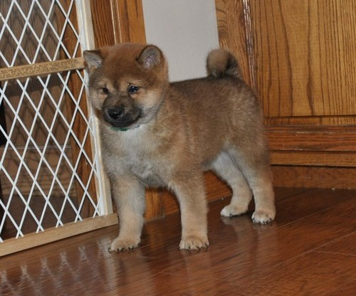 Shiba Inu Puppies For Sale £250 Animals