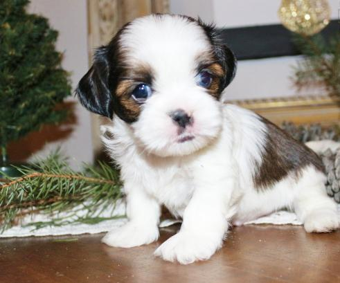 Shih Tzu Puppies For Adoption Animals 2