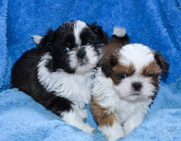 Shih Tzu Puppies For Adoption Animals