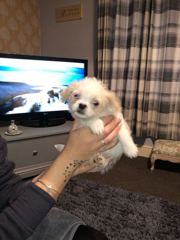 Shithzu cross puppies 8 weeks old looking for a forever loving home  Animals