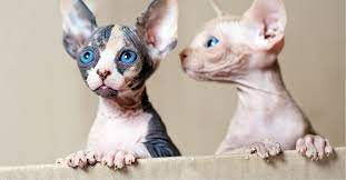 Sphynx and Bengal  kittens available for adoption Animals
