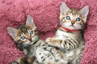 Sphynx and Bengal  kittens available for adoption Animals 2