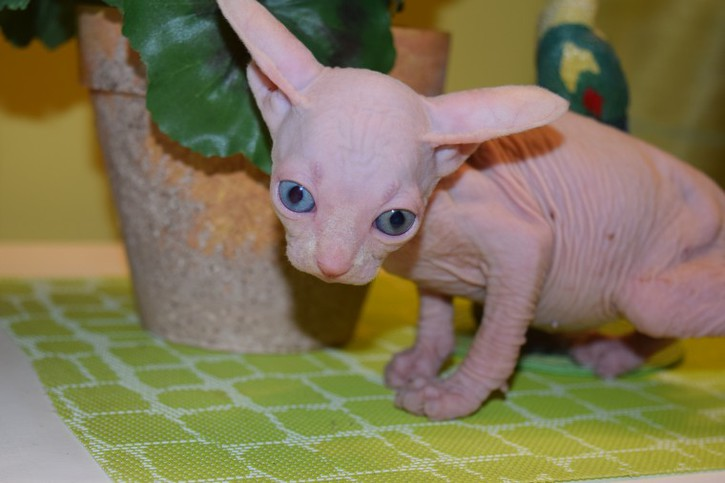 Sphynx kittens for sale Animals