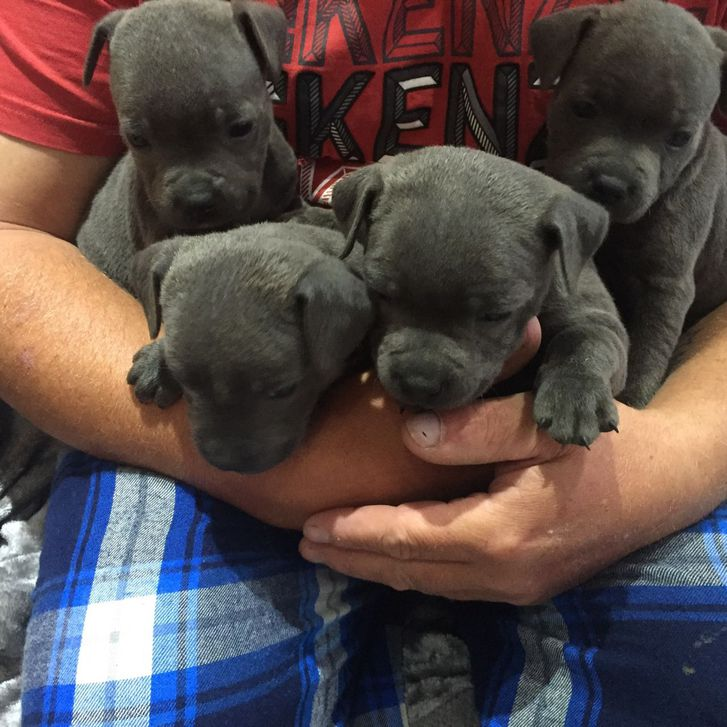 Staffordshire Bull terrier puppies Animals