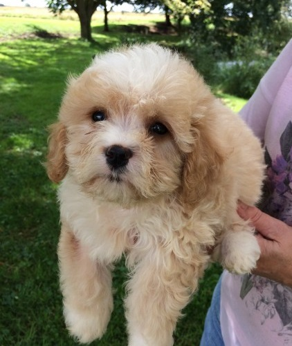 Stunning Cavachon Puppies Animals