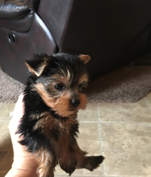 Stunning Pedigree Yorkshire Terrier Pups Animals