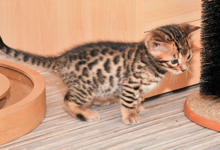 Stunning Tica Registered Bengal Kittens Animals